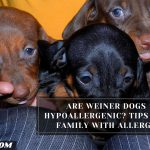 Are Weiner Dogs Hypoallergenic? Tips For Family With Allergy