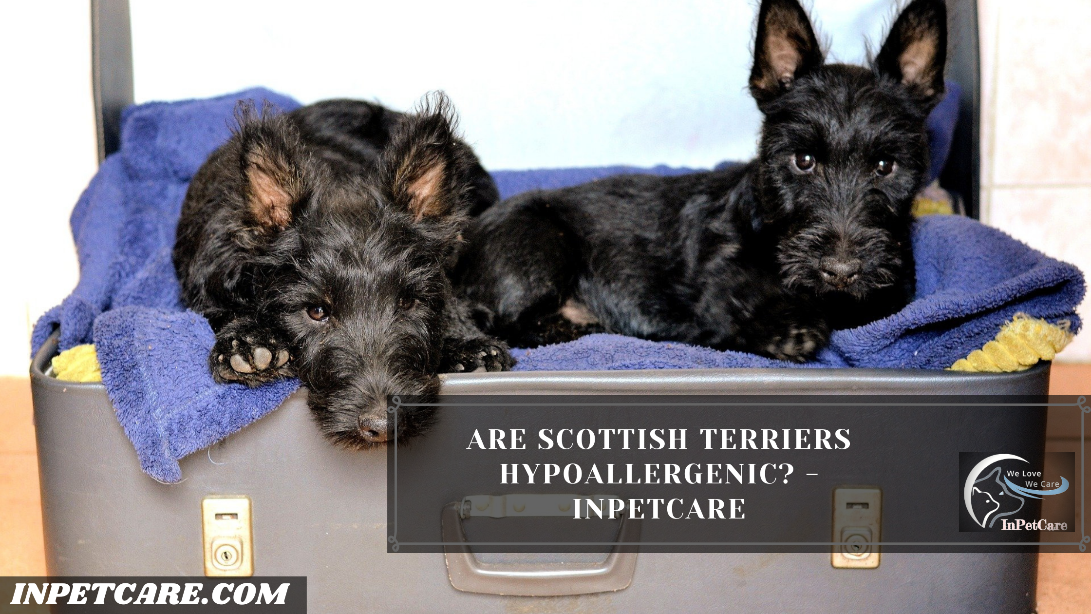 Are Scottish Terriers Hypoallergenic? - InPetCare