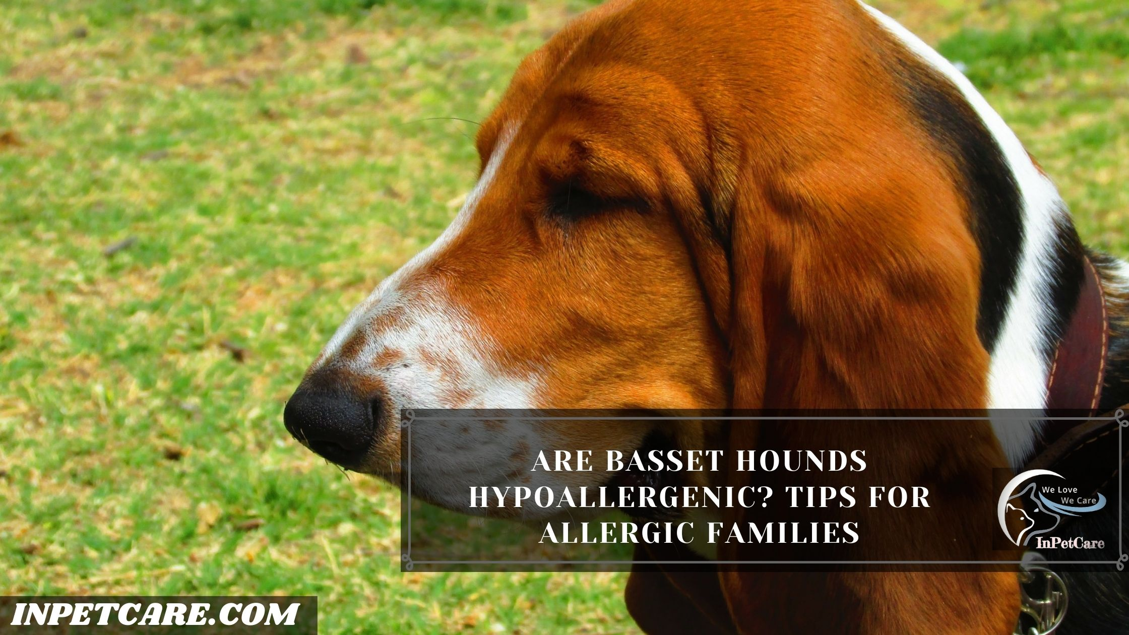Are Basset Hounds Hypoallergenic? Tips For Allergic Families