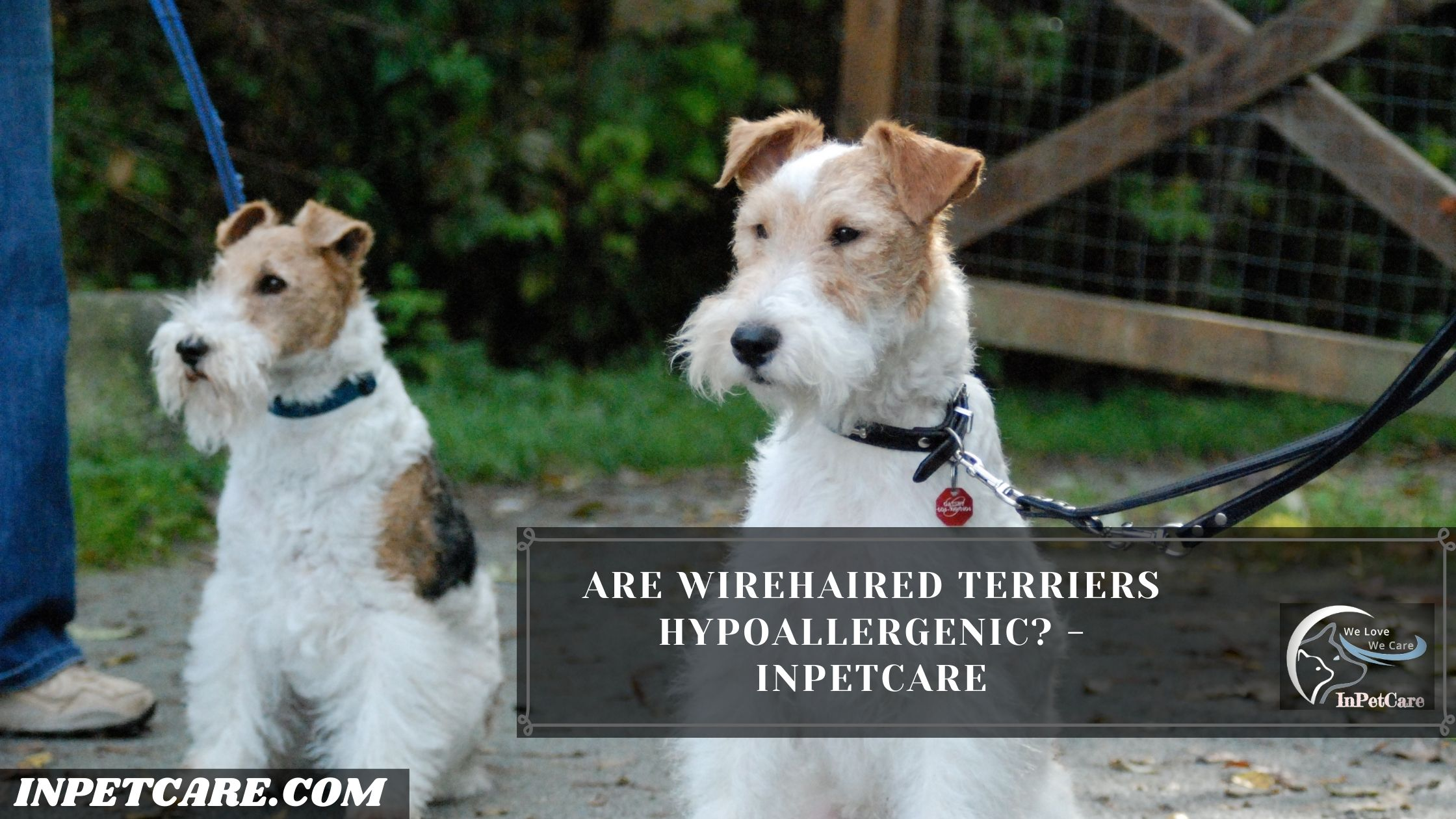 Are Wirehaired Terriers Hypoallergenic? - InPetCare