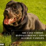 Are Cane Corsos Hypoallergenic? Tips For Allergic Families