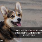 Are Australian Cattle Dogs Hypoallergenic? - InPetCare
