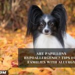 Are Papillons Hypoallergenic? Tips For Families With Allergy