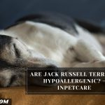 Are Jack Russell Terriers Hypoallergenic? - InPetCare