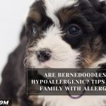 Are Bernedoodles Hypoallergenic? Tips For Family With Allergy