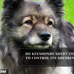 Do Keeshonds Shed? Tips To Control Its Shedding
