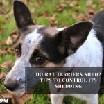 Do Rat Terriers Shed? Tips To Control Its Shedding