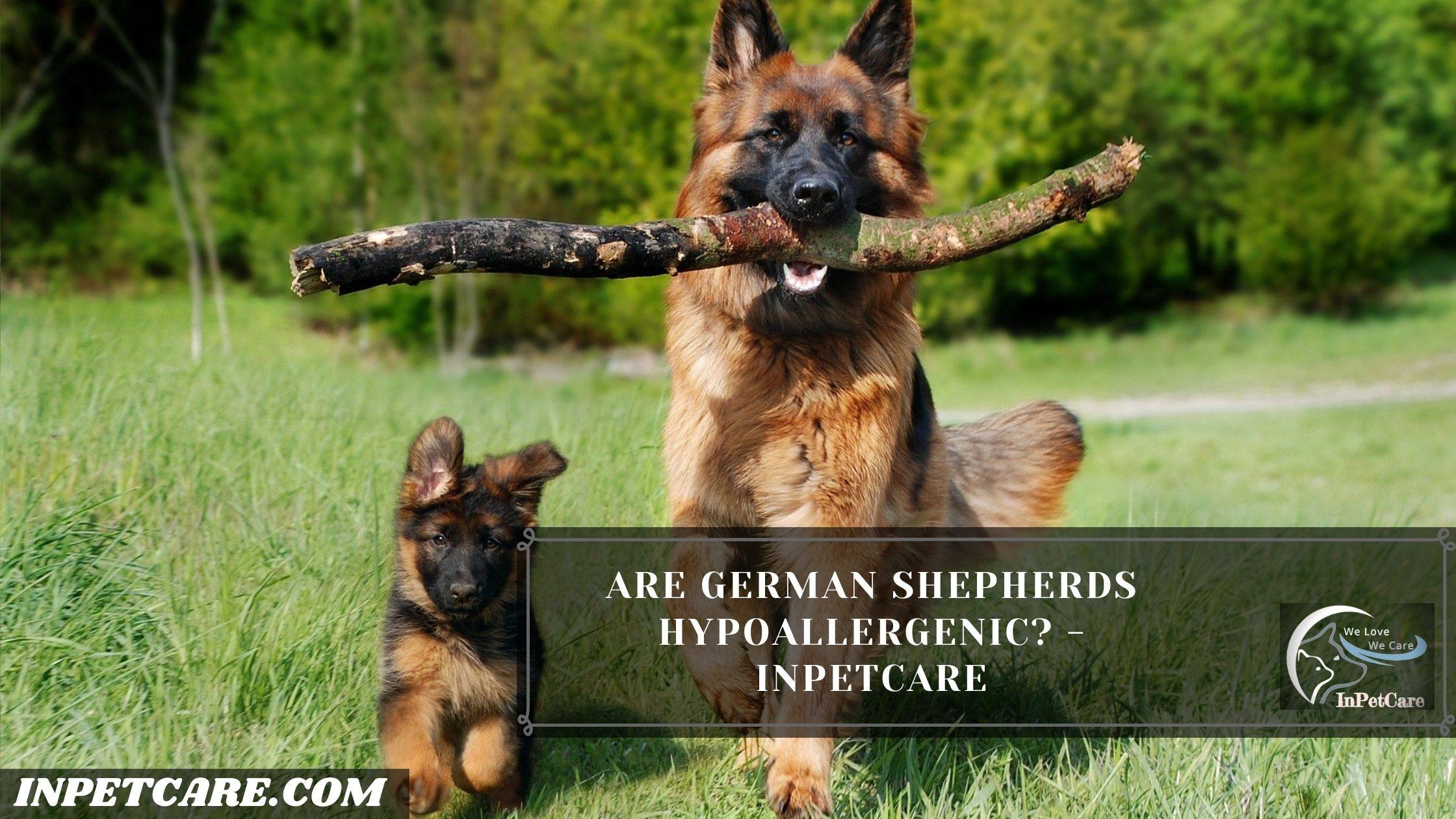 Are German Shepherds Hypoallergenic?