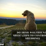 Do Irish Wolfhounds Shed? (Tips To Control Its Shedding)