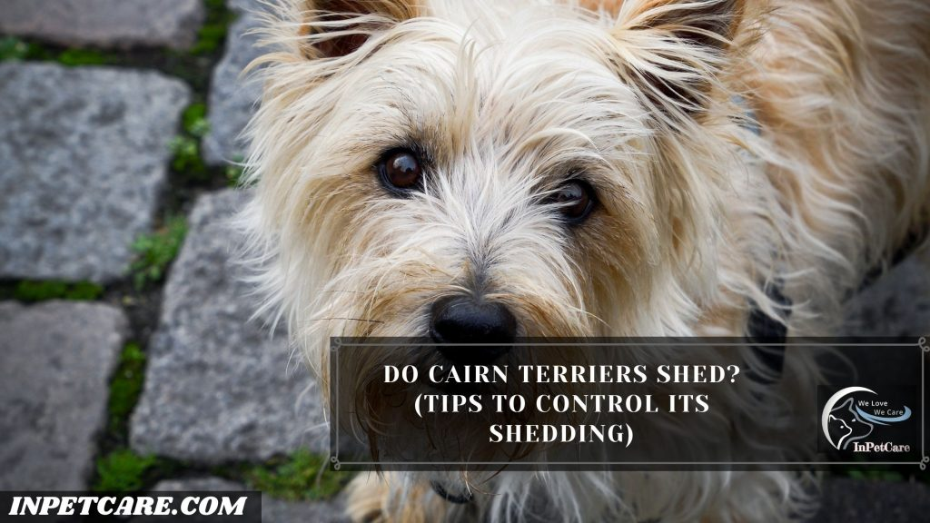 Do Cairn Terriers Shed?