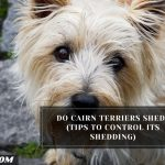 Do Cairn Terriers Shed? (Tips To Control Its Shedding)