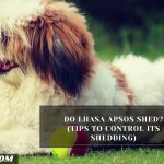 Do Lhasa Apsos Shed? (Tips To Control Its Shedding)