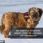 Do Tibetan Terriers Shed? (Tips To Control Its Shedding)
