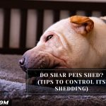 Do Shar Peis Shed? (Tips To Control Its Shedding)