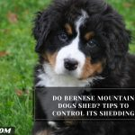 Do Bernese Mountain Dogs Shed? Tips To Control Its Shedding