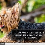 Do Norwich Terriers Shed? Tips To Control Its Shedding