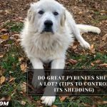 Do Great Pyrenees Shed A Lot? (Tips To Control Its Shedding)