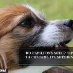 Do Papillons Shed? Tips To Control Its Shedding