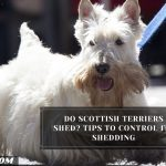 Do Scottish Terriers Shed? Tips To Control Its Shedding