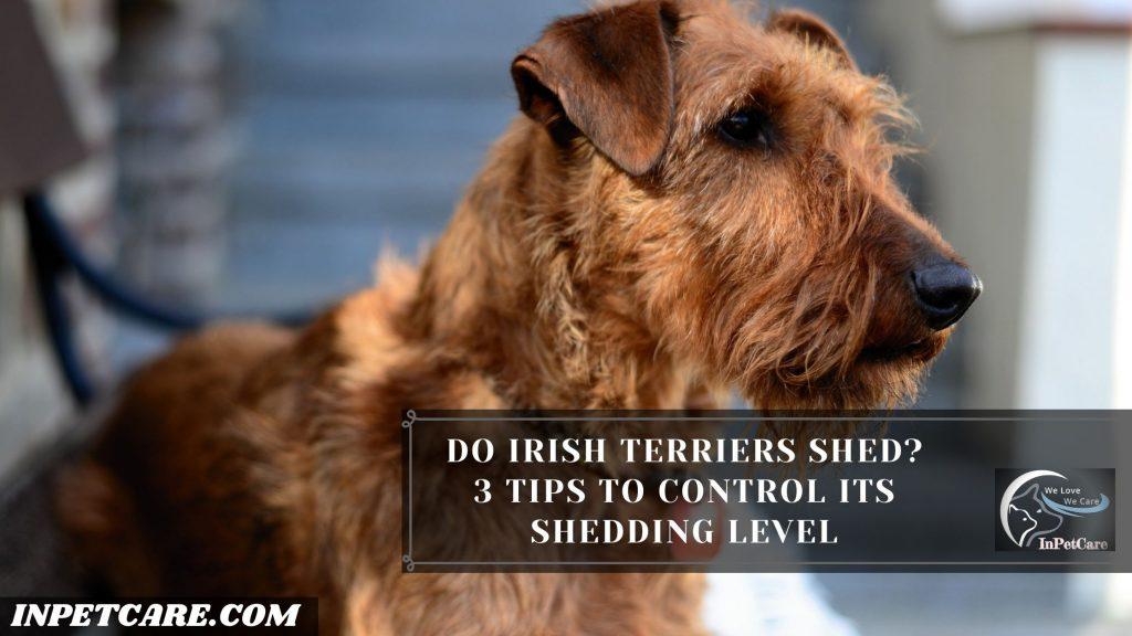 Do Irish Terriers Shed?