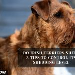 Do Irish Terriers Shed? 3 Tips To Control Its Shedding Level