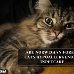 Are Norwegian Forest Cats Hypoallergenic? - InPetCare