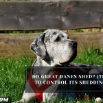 Do Great Danes Shed? (Tips To Control Its Shedding)