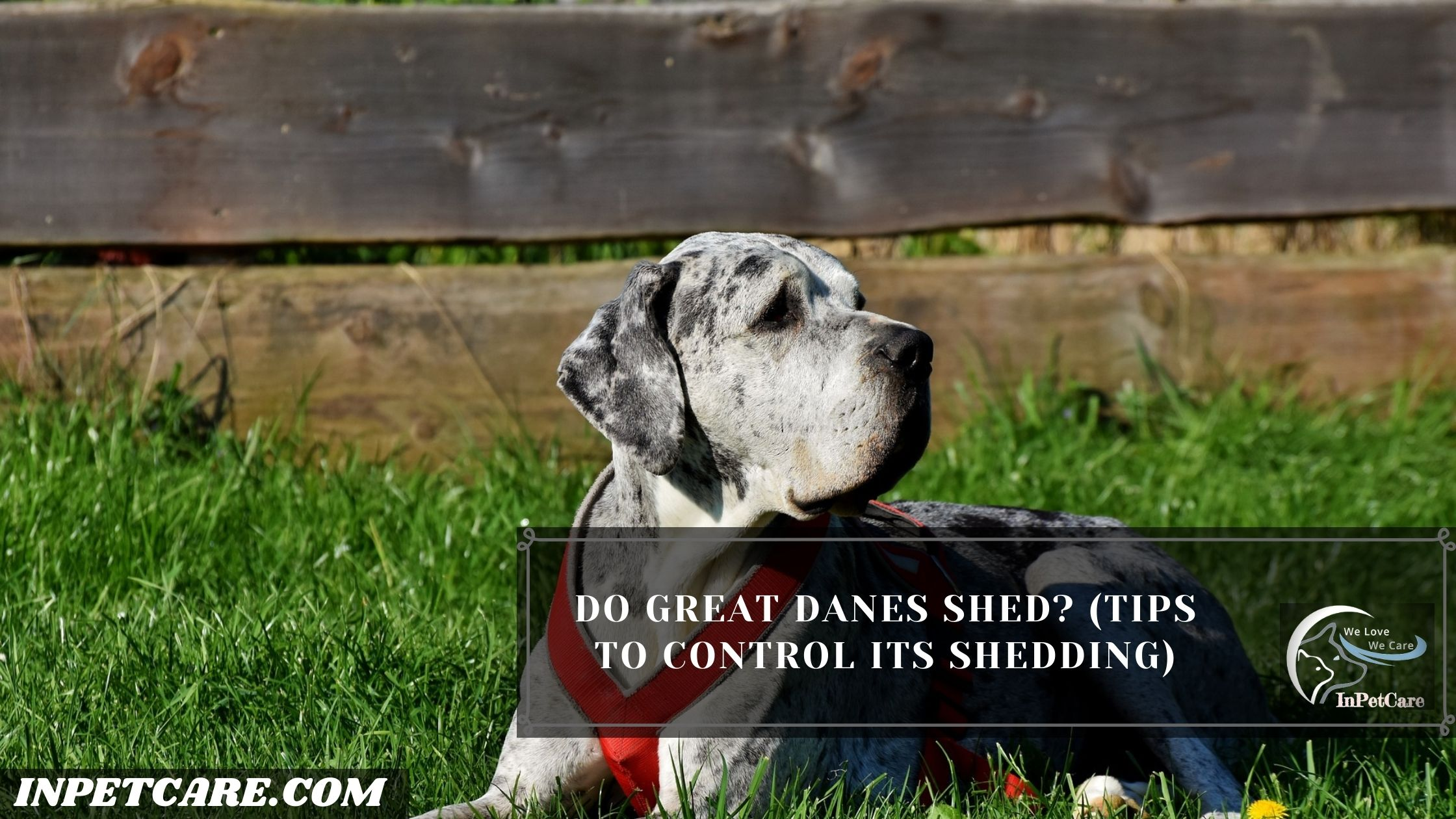 Do Great Danes Shed?