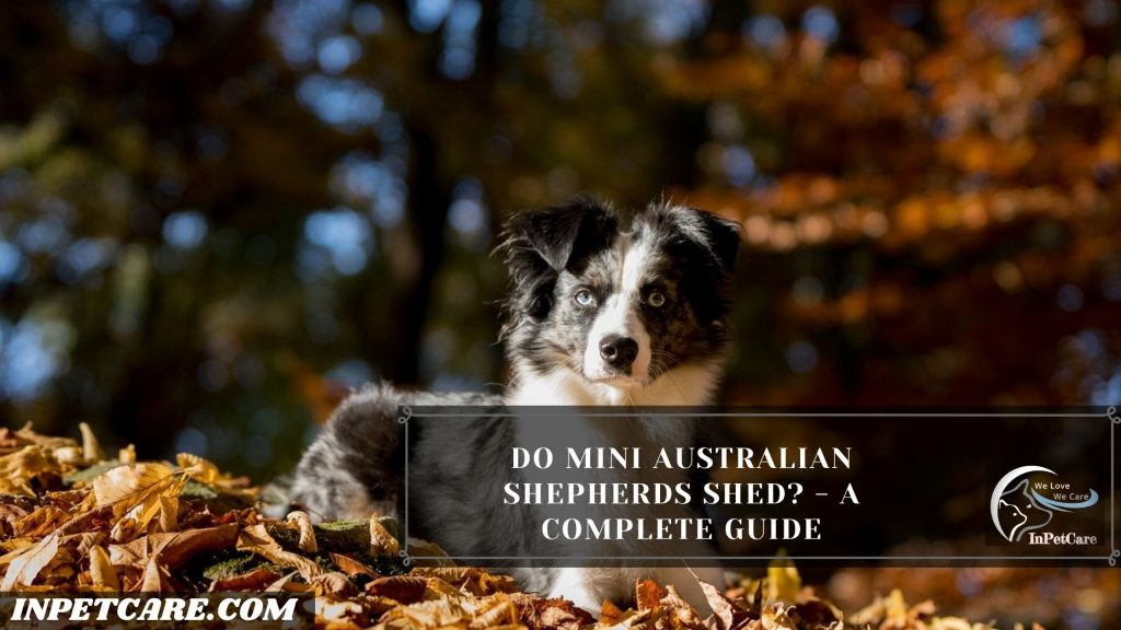 Do Mini Australian Shepherds Shed?