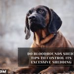 Do bloodhounds shed? Tips To Control Its Excessive Shedding