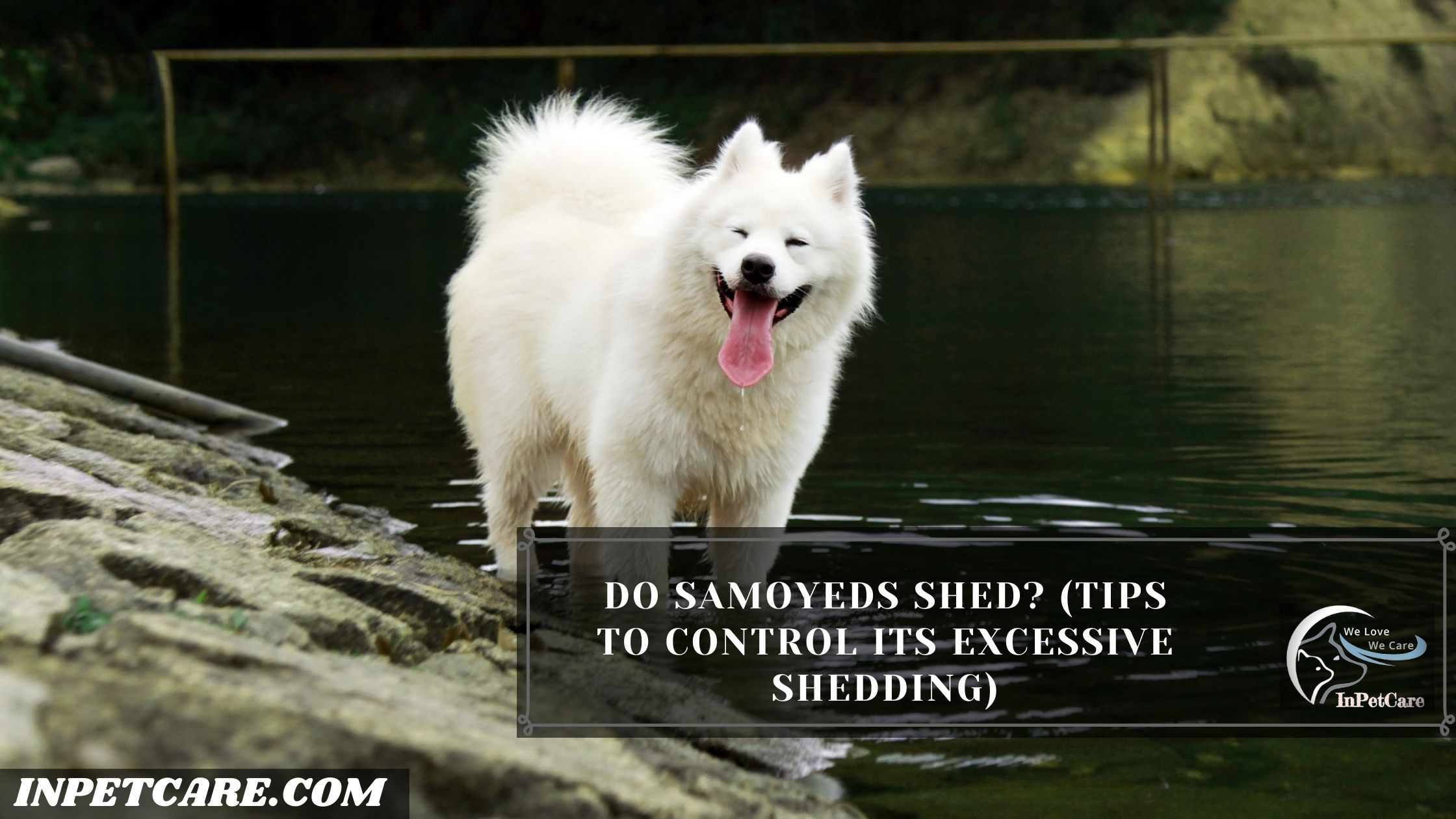 Do Samoyeds Shed? (Tips To Control Its Excessive Shedding)