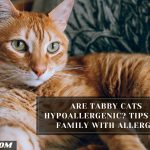 Are Tabby Cats Hypoallergenic? Tips For Family With Allergy