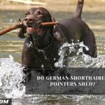 Do German Shorthaired Pointers Shed?
