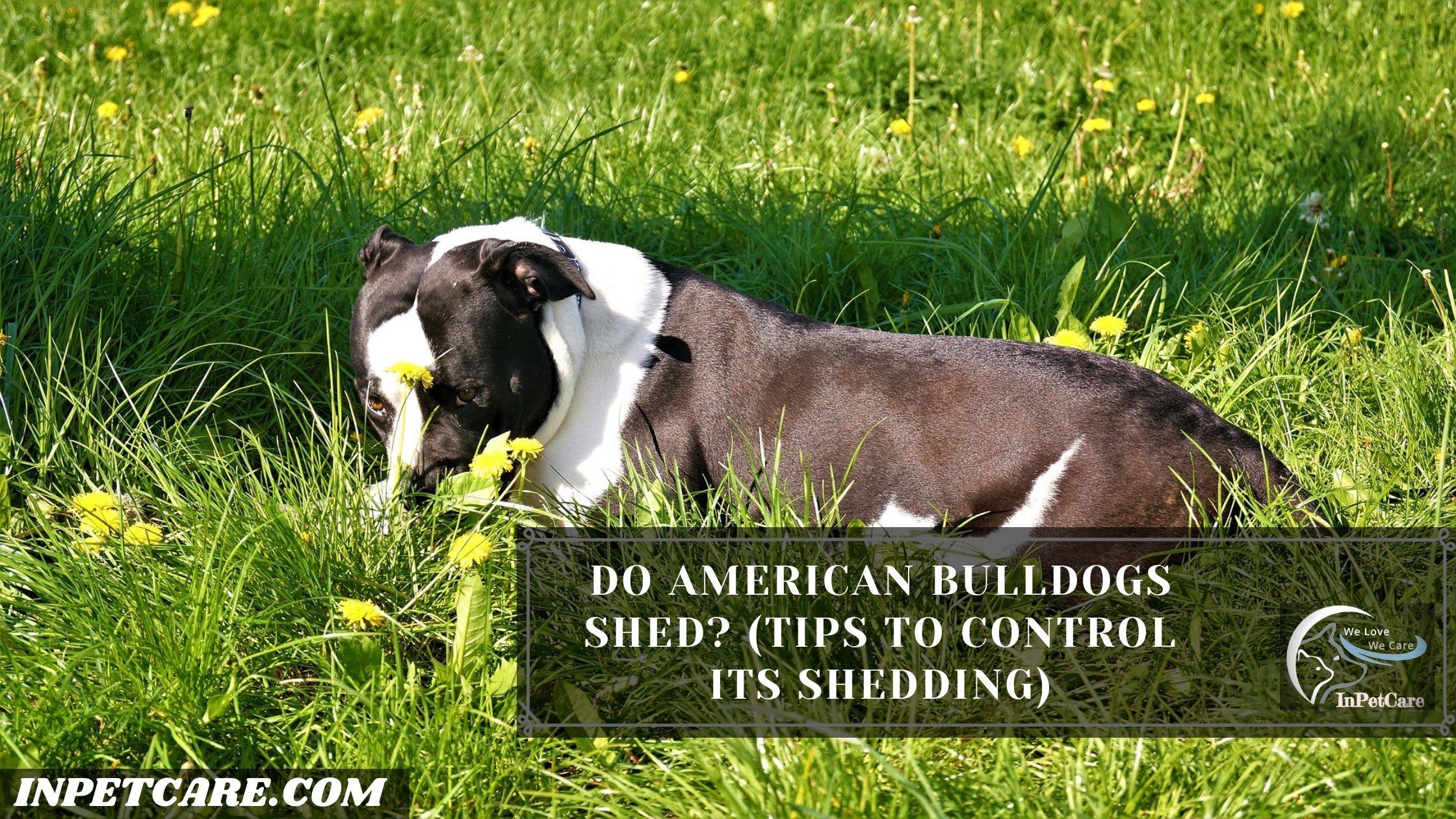 Do American Bulldogs Shed?