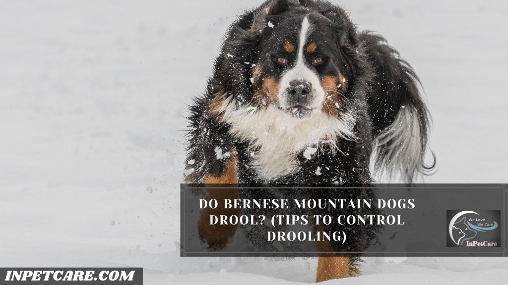 Do Bernese Mountain Dogs Drool?