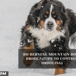 Do Bernese Mountain Dogs Drool? (Tips To Control Drooling)