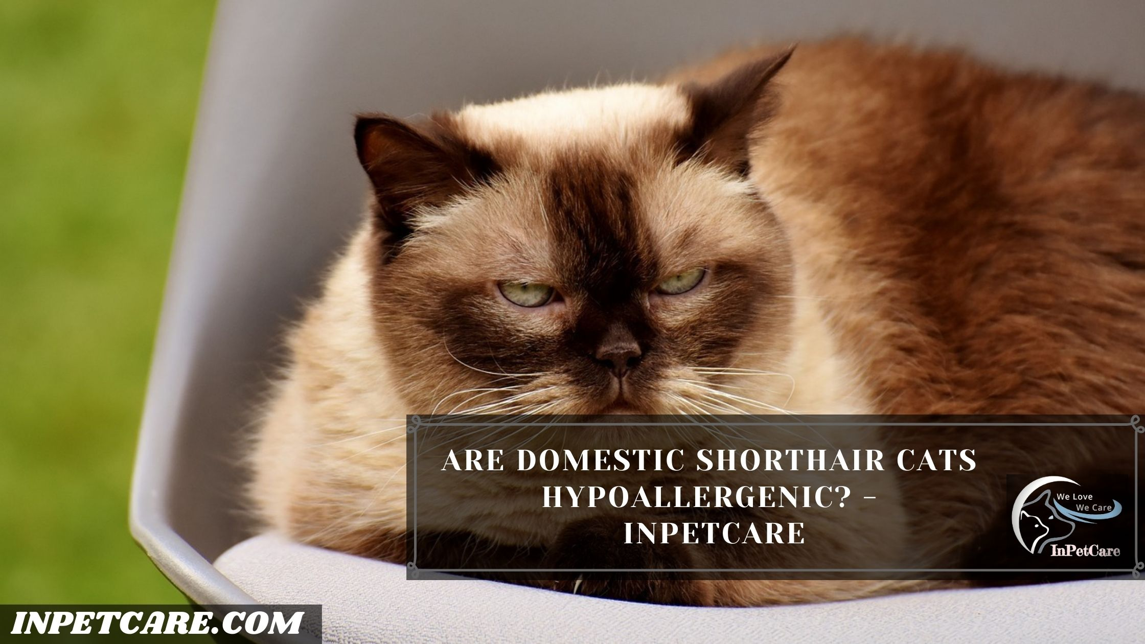 Are Domestic Shorthair Cats Hypoallergenic? - InPetCare