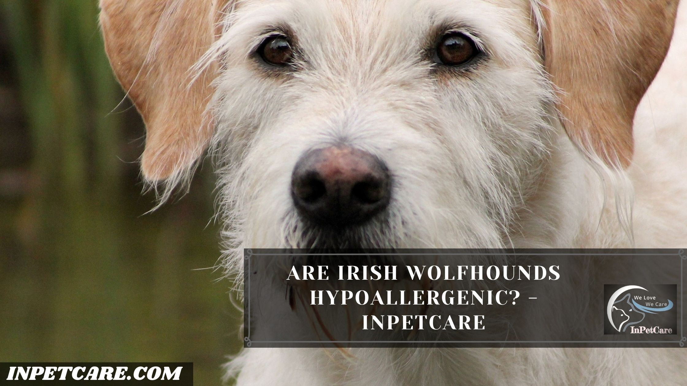 Are Irish Wolfhounds Hypoallergenic?