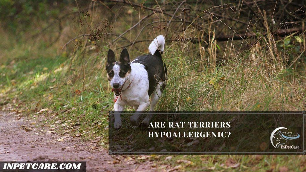 Are Rat Terriers Hypoallergenic?