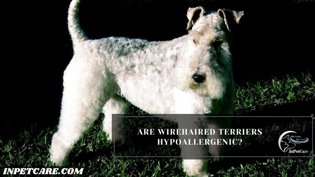 Are Wirehaired Terriers Hypoallergenic?