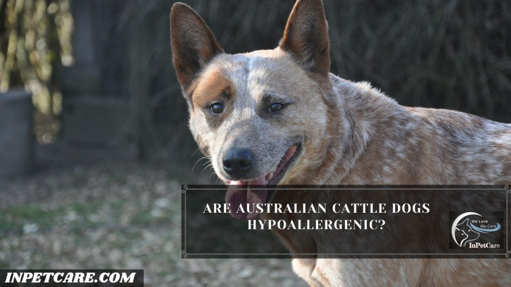 Are Australian Cattle Dogs Hypoallergenic?