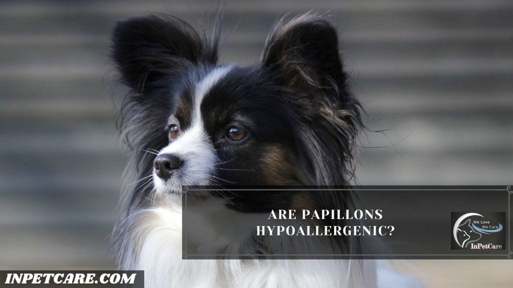 Are Papillons Hypoallergenic?