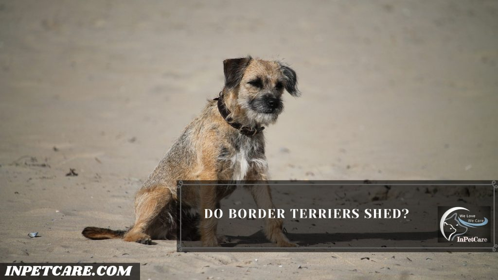 Do Border Terriers Shed?