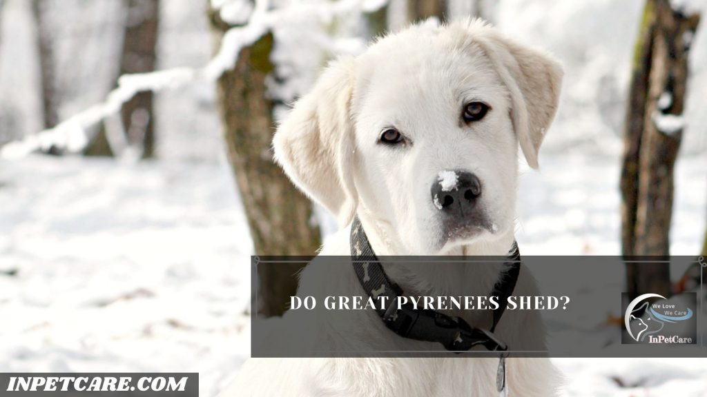 Do Great Pyrenees Shed A Lot?
