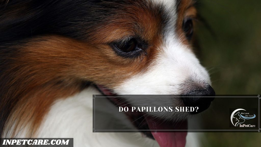 Do Papillons Shed?