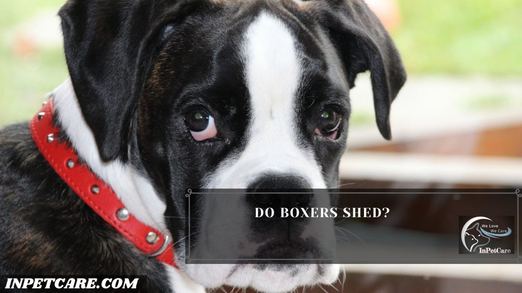 Do Boxers Shed?