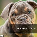 Do Bulldogs Shed? (13 Tips To Control Its Shedding)