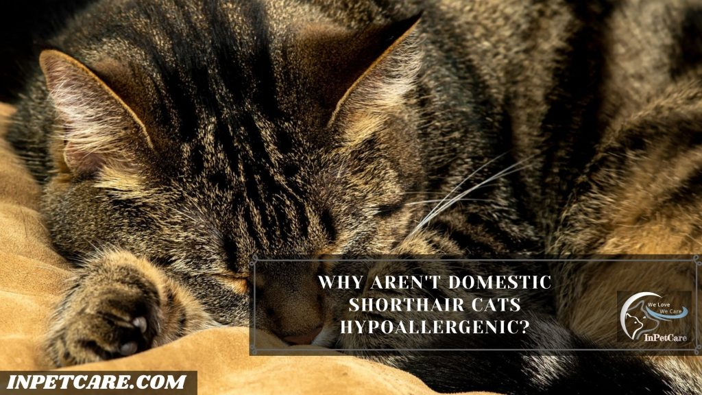 Are Domestic Shorthair Cats Hypoallergenic?
