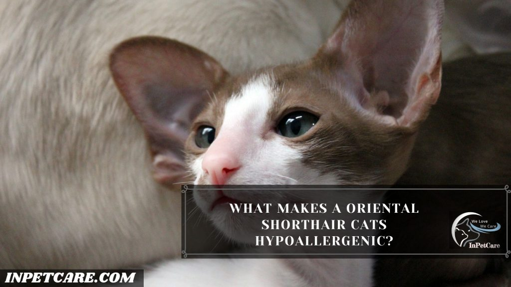 Are Oriental shorthair Cats hypoallergenic? - InPetCare