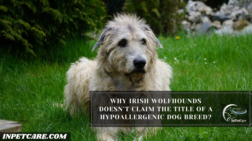 Why Irish Wolfhounds Doesn't Claim The Title Of A Hypoallergenic Dog Breed?